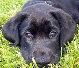 Dog-black_lab_puppy